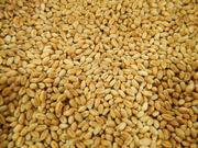 Закупаем пшеницу Ф2