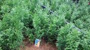 Продам укорененные черенки хвойных и лиственных растений
