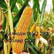Семена французской кукурузы Элисон (урожайность 140 ц/га)